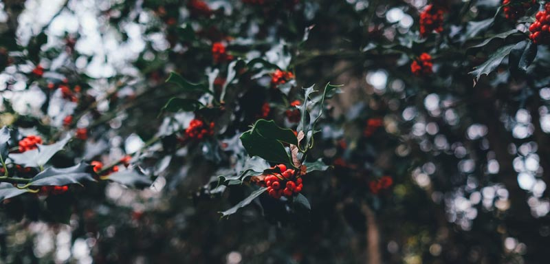 Holly Berries by anniespratt.com