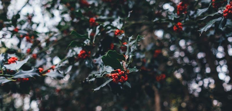 Holly Berries by anniespratt.com